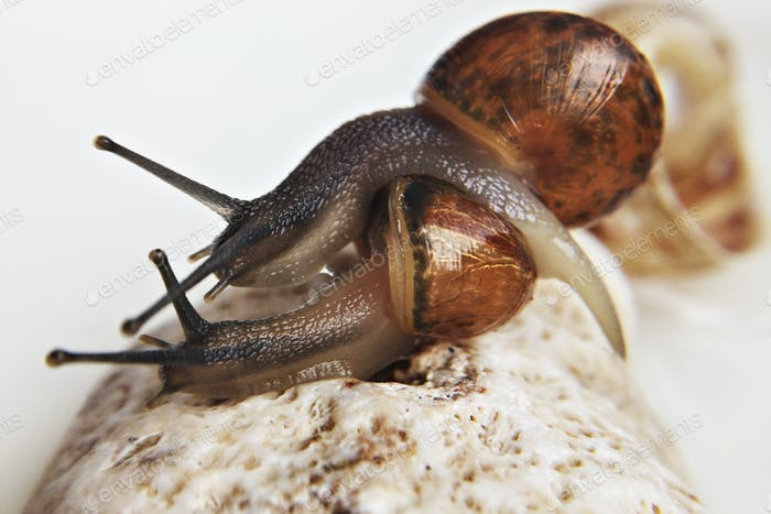 Two grape snails hugging, sitting on a stone.