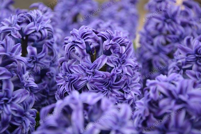 Nahaufnahme von lila Hyazinthen