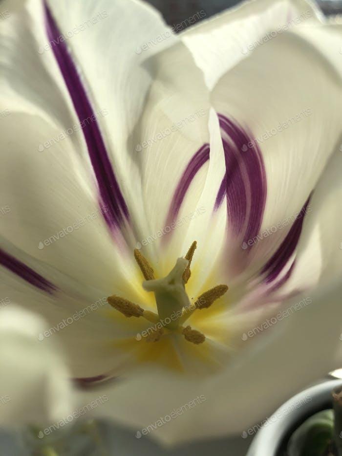 White flower tulip stamens