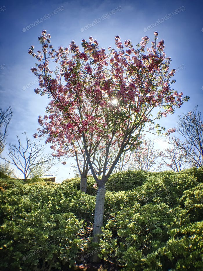 Cherry trees in Balboa Park, San Diego California.