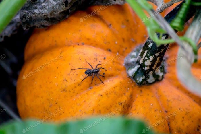 Spider crawling on a pumpkin