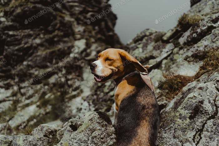 Smiling dog on the mountains