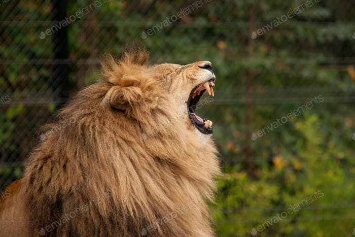 Close-up image of lion roaring. Fangs, animal, beast, wild animal.