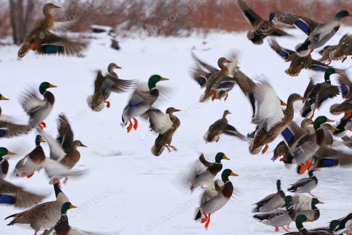 A flock of mallard ducks landing in a bunch, wings flapping and orange feet out to land in the snow.