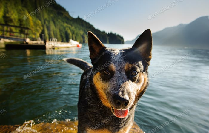 Australischer Rinderhund