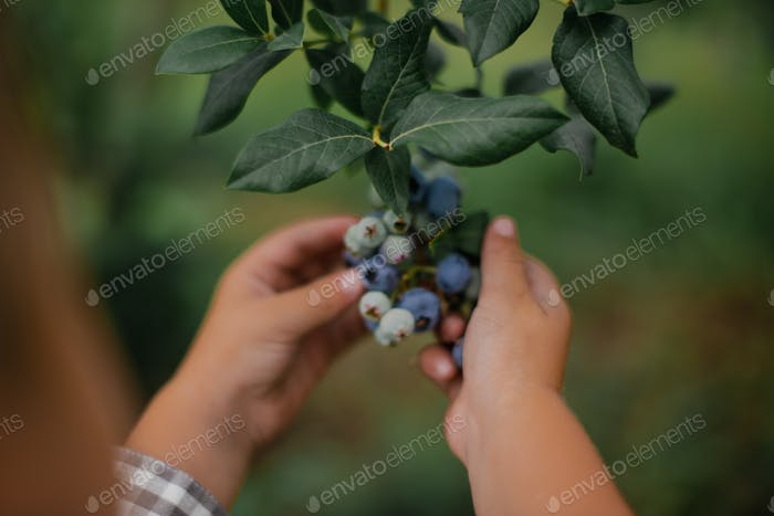 Close up of chubby toddler hands picking blueberries off a bush