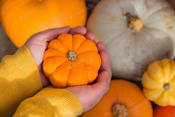 A pair of hands holding a miniature pumpkin called a munchkin with another winter squashes and