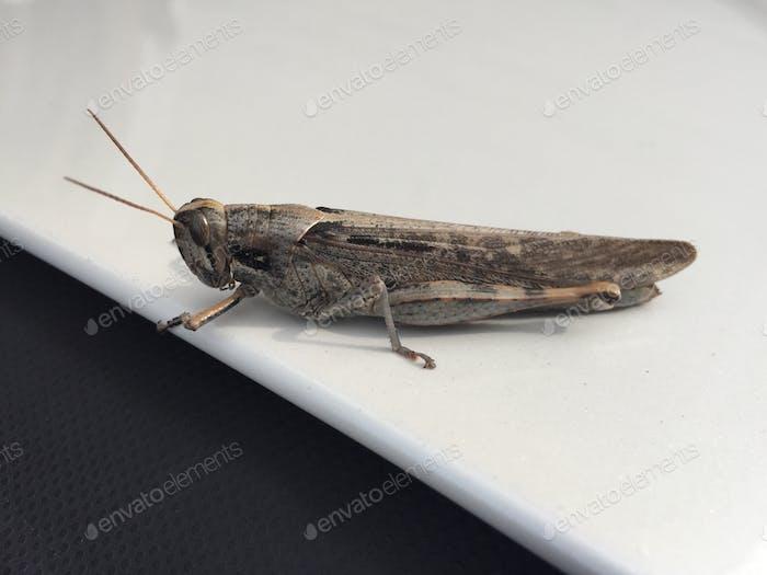 Cricket auf einem Auto