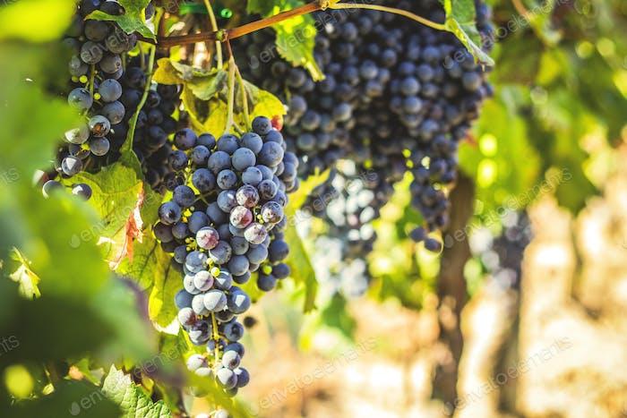 Merlot-Trauben, Weinberge, ökologischer Landbau, Napa Valley