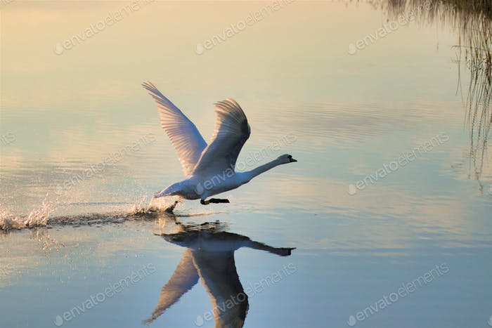 Swan taking off from river with reflection in water