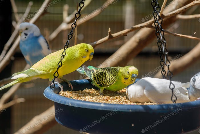 Colorful parakeets on a feeder
