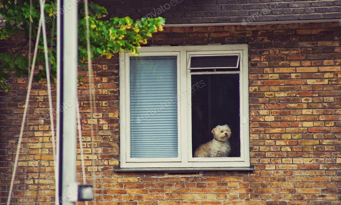 A cute and a lonely dog at the window