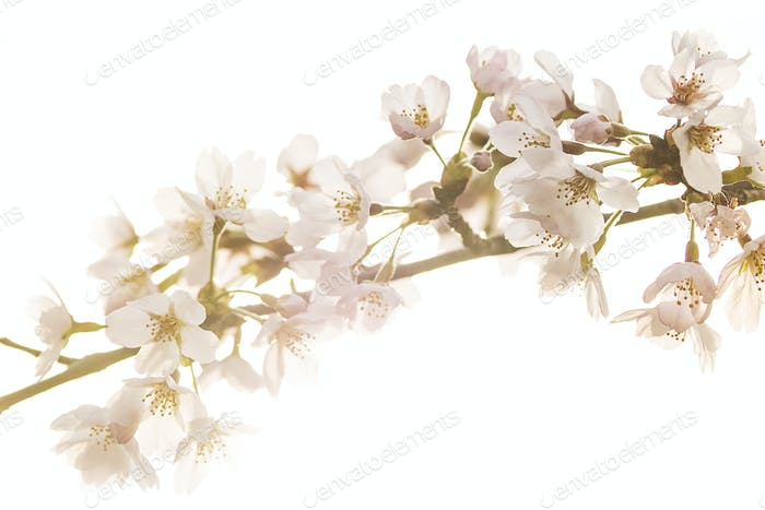 pale cherry blossoms