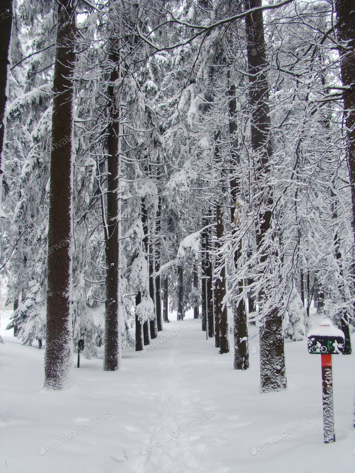 Tall pine tree treeline, snow, winter, no people.