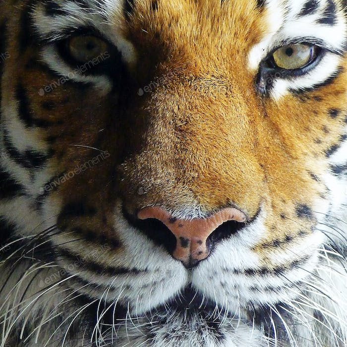 An extremely closeup portrait of a beautiful tiger's face showing its eyes, nose and whiskers.