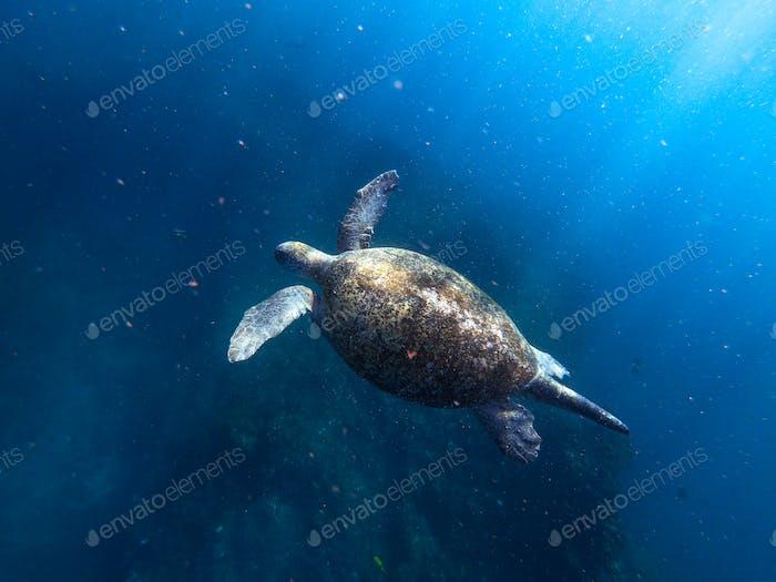 Alte männliche grüne Schildkröte