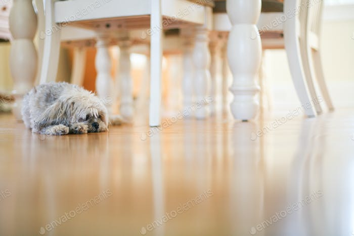 little dog in a brightly lit dining room