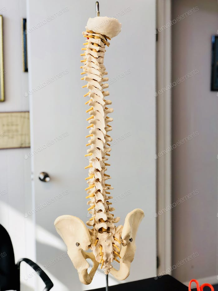 Healthcare and medicine , Skeletal structure of the spinal cord at the chiropractor.