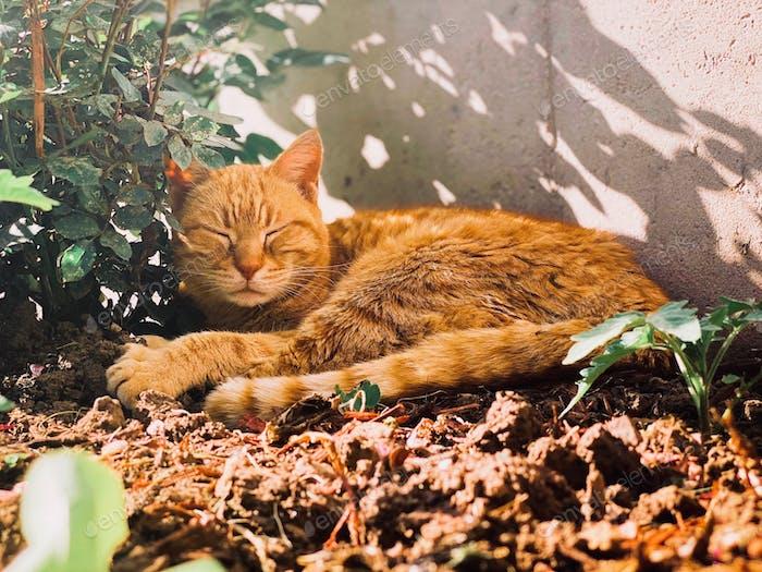 Orange tabby cat sleeping outside in the shade