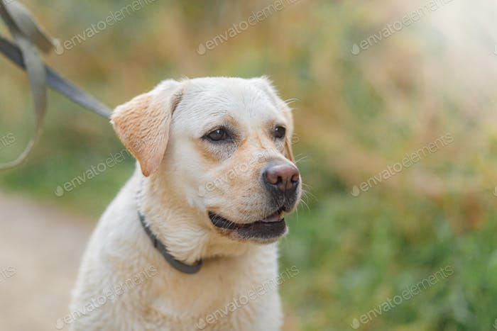 Close-up portrait of dog breed labrador in nature