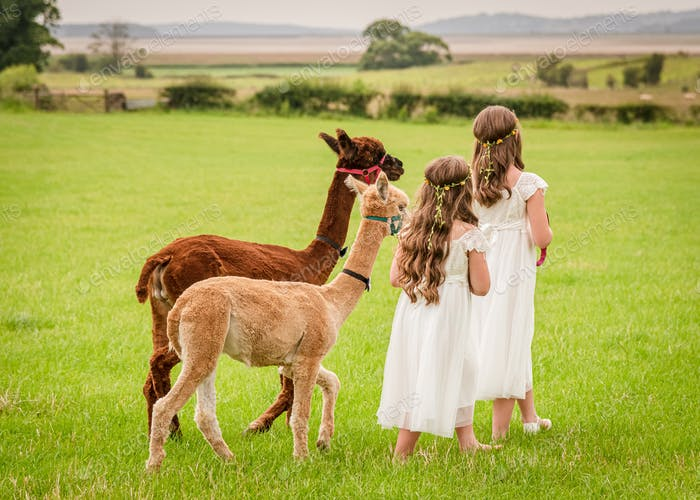 Two young girls walking an alpaca through a field in the countryside.