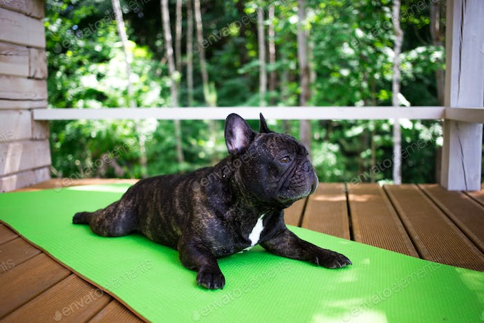 NOMINATED!!⚡⚡French bulldog lying on the yoga carpet on the terrace in summer