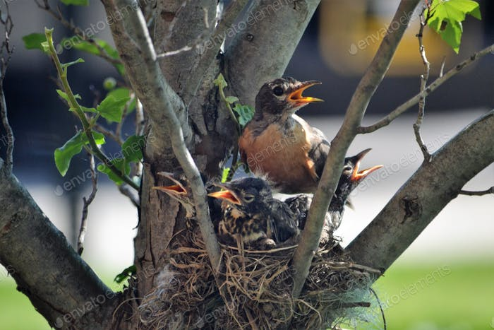 Robins nest, robins in Spring