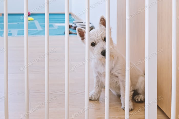 Cute puppy of west highland white terrier sitting behind dog fence