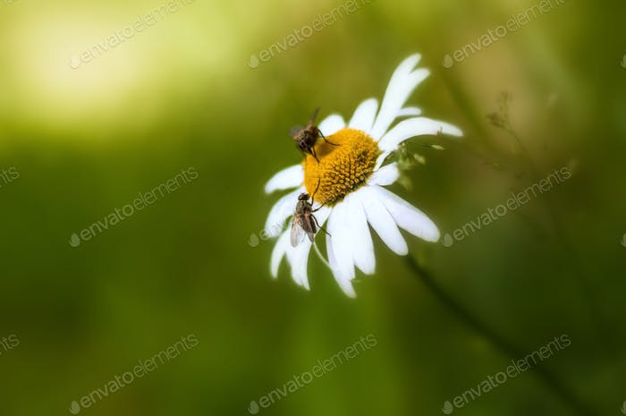 Rendezvous on camomile