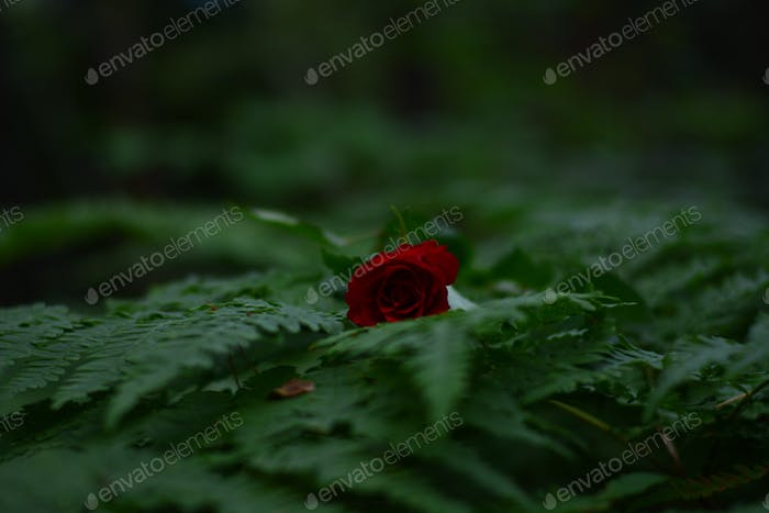 Red rose on green leafs