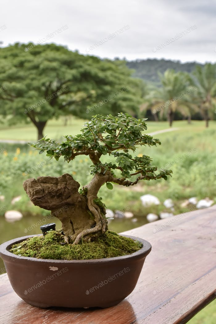 Deciduous bonsai with buds and thick trunk in a pot