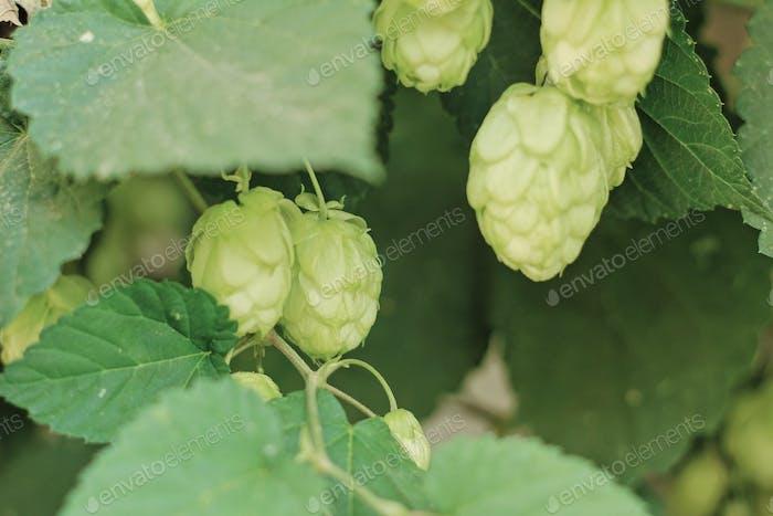 Plant hop