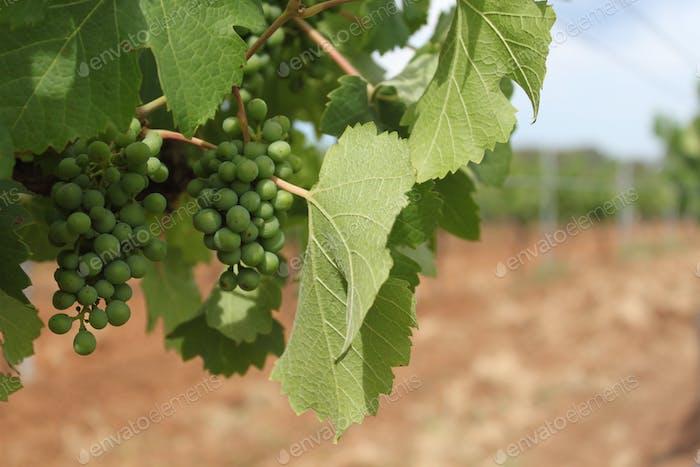 Grapes on wine yards. Hunter valley. Australia