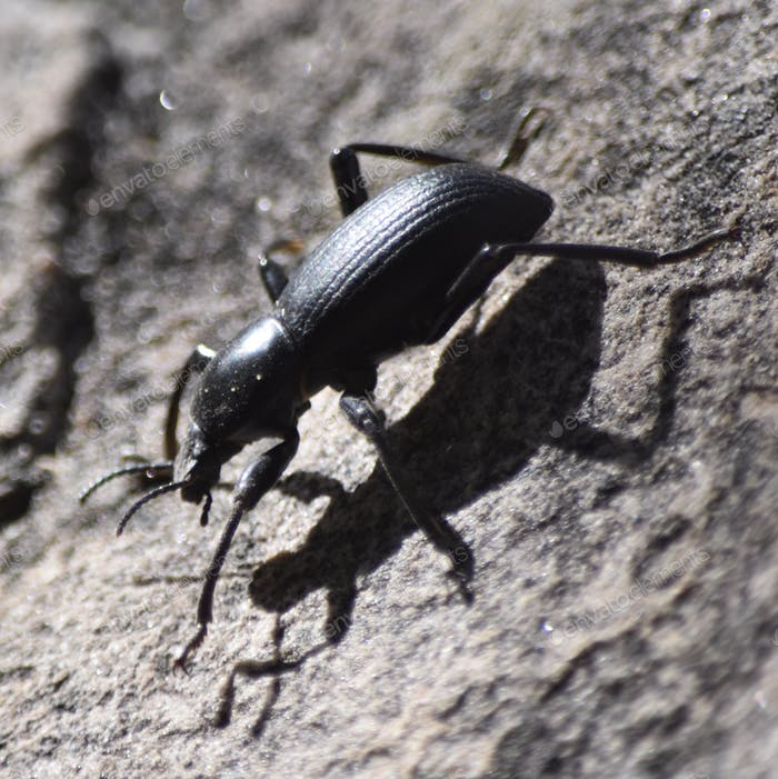 Big black stink bug