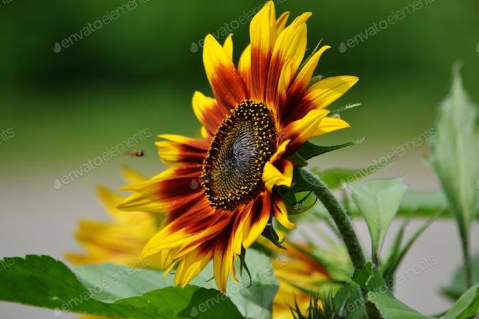 Sunflower #flowersphotography #flowersphoto #flowerstalking #flowerday #flowersday #flowerslove