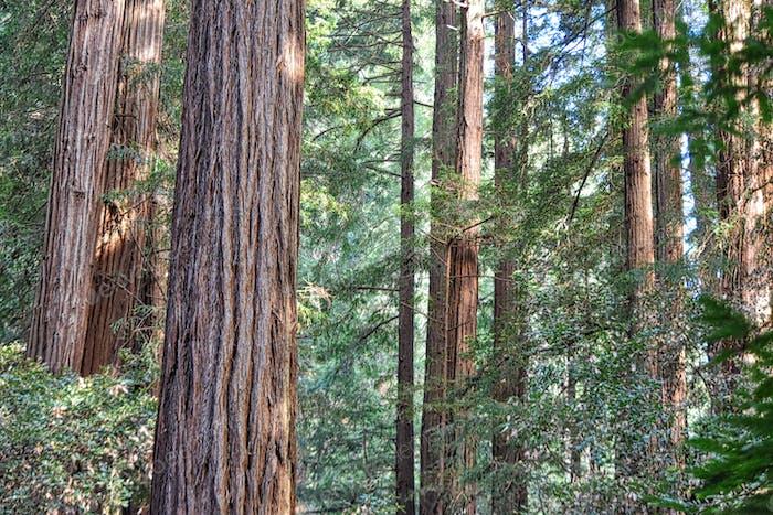 Nominiert 🌟🌟🌟🌟🌟🌟🌟 California-Redwood-Bäume stehen hoch und grün mit Sonnenlicht