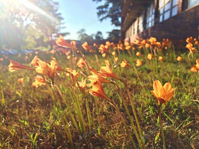 Copper Lillies in bloom