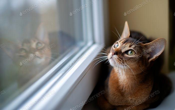 Abessinier, entzückend, Tier, Hintergrund, Katze, sitzen, Fenster, schöne, Rasse, auf der Suche, Kamera, Braun, schließen