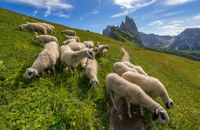 Amazing view of Odle Mountains in the Dolomites. Sheep on the way to the mountain top.