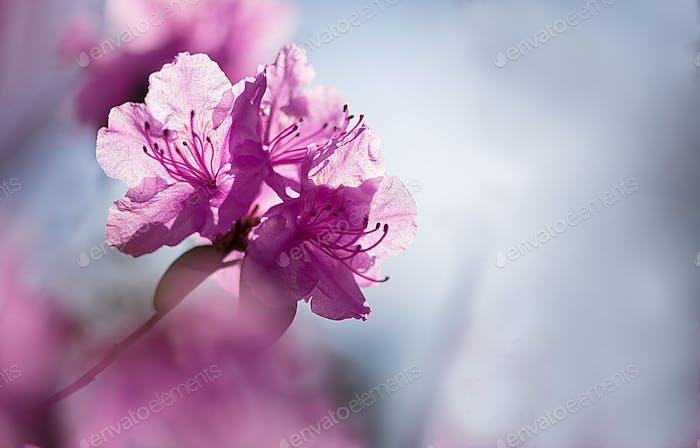 Rhododendron blüht