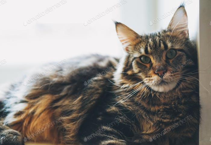 Big fluffy tabby cat Maine Coon looks at the camera
