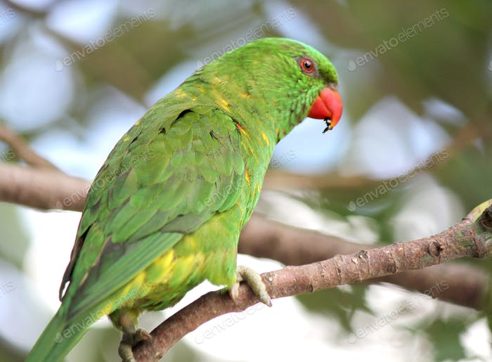 Green Australian scaly-breasted lorikeet
