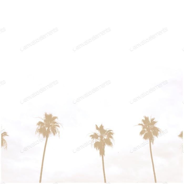 Southern California palm trees. La Jolla Shores