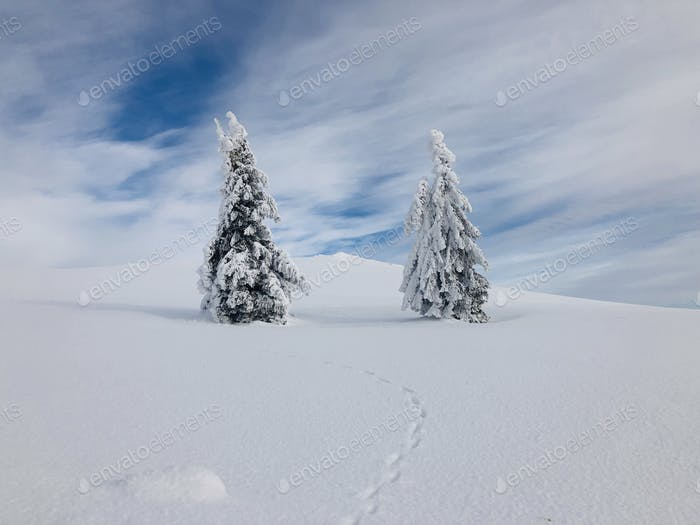 Minimalistic view of single conifer tree covered in snow with footsteps in the snow