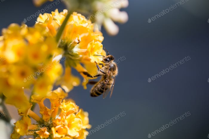 A bee collects pollen on a yellow flower.