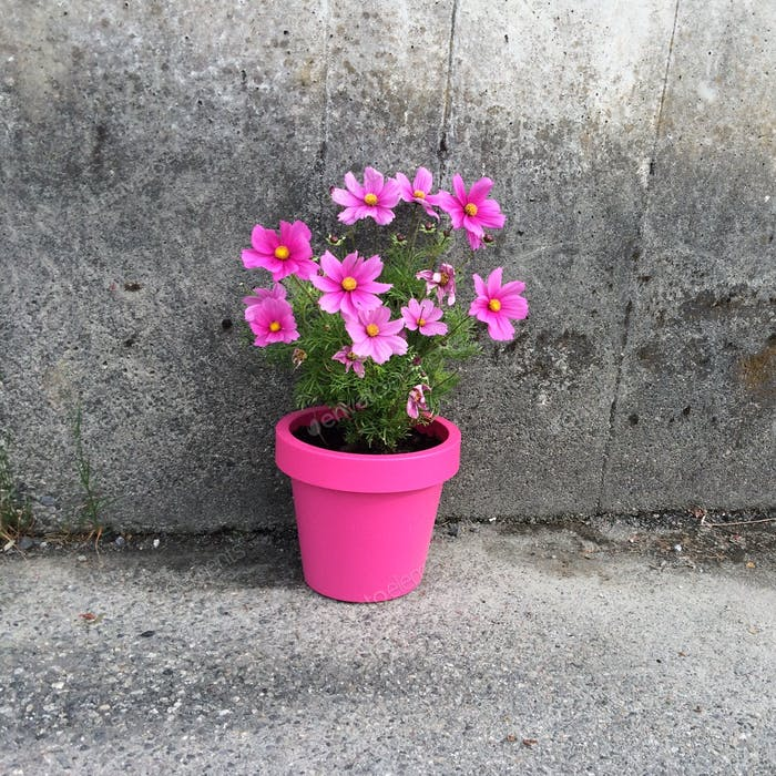 Pink flower with grey wall
