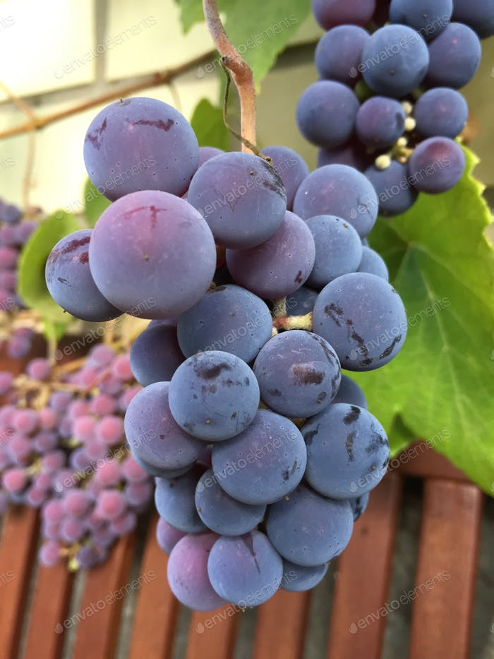Latvian grapes