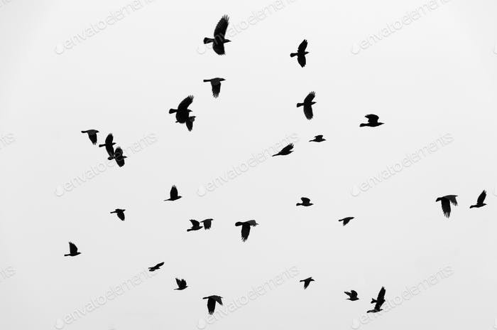 Flock of black birds