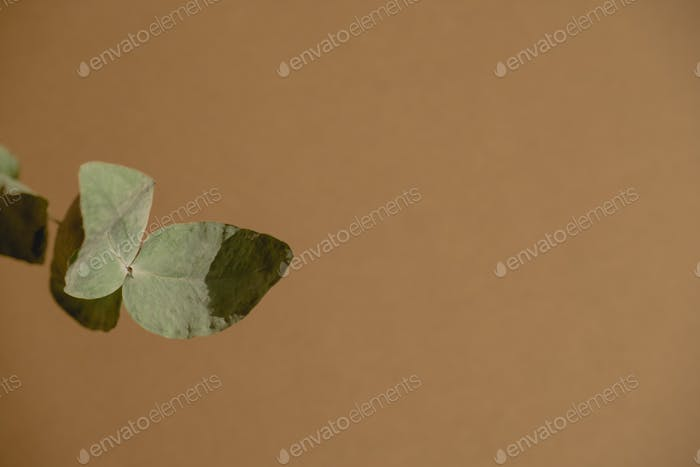 top view dry eucalyptus branch  on a brown background copy space flat lay