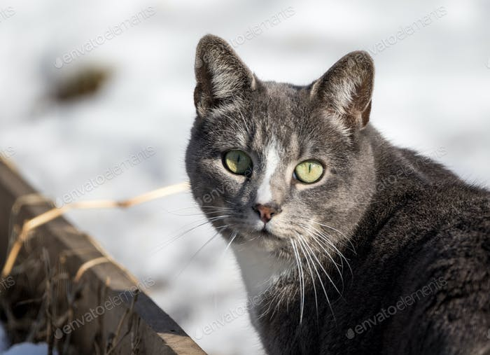 Feral cat wondering out in the snow, looking at the camera, wild cat